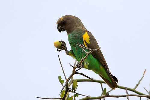 Meyer's parrot | by dmmaus