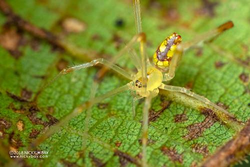 Mirror spider (Thwaitesia sp.) - DSC_7522 | by nickybay