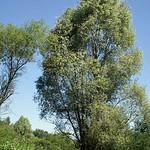 Gemeine Esche (Fraxinus excelsior) in der Heisinger Ruhraue