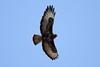 Buteo buteo (Common Buzzard) - Guernsey by Nick Dean1