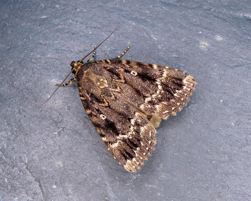 73.062x Copper Underwing agg. - Amphipyra pyramidea agg.