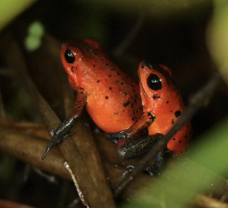 Strawberry Poison Dart Frog, Oophaga pumilio_199A6694
