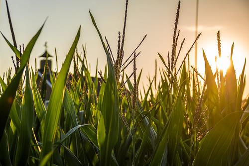 nikon d5500 sigma 18300mm corn sunlight sunset green farm sky netherlands naturallight field végétal ericbeaume