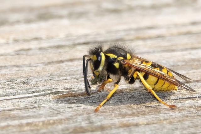 Gewone Wesp-Common Wasp (Vespula vulgaris)