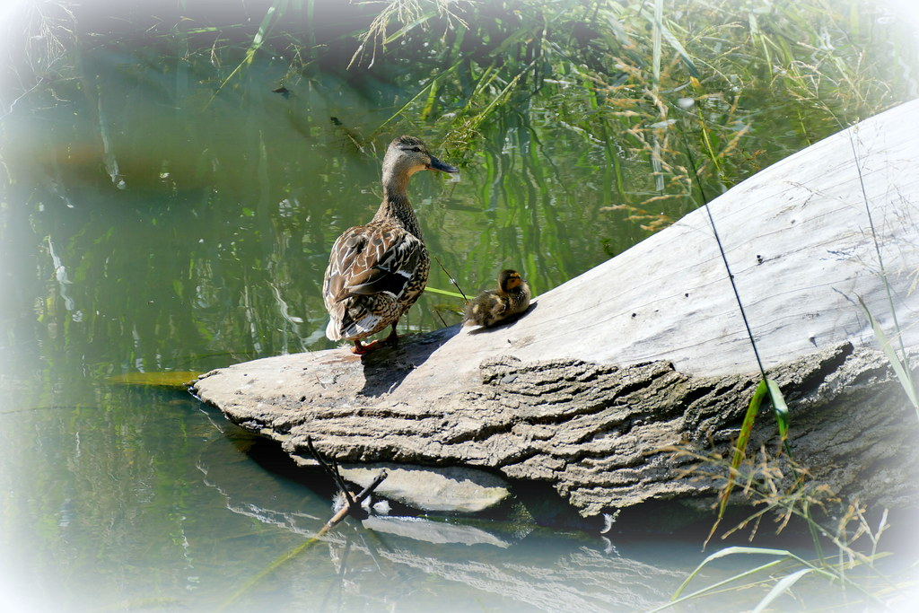 A Female Mallard Duck And One Of Her Babies Resting On A T