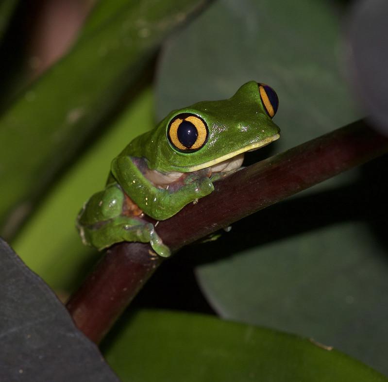 Golden-eyed Tree-frog, Agalychnis annae_199A3285