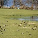 Kiebitze (Vanellus vanellus) und Blässgänse (Anser albifrons) in der Walsumer Rheinaue