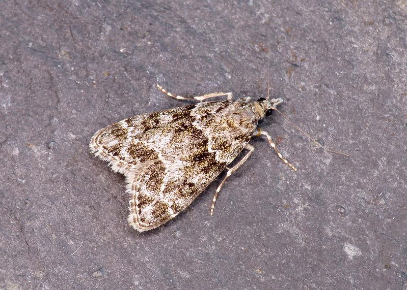 63.067 Little Grey - Eudonia lacustrata