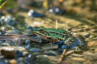 Frog / Frosch | by NEX69