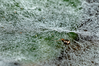 Comb-footed spider (Theridiidae) - DSC_7835 | by nickybay