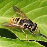 Wespen-Moderholzschwebfliege (Large Wasp-like Hoverfly, Temnostoma vespiforme)