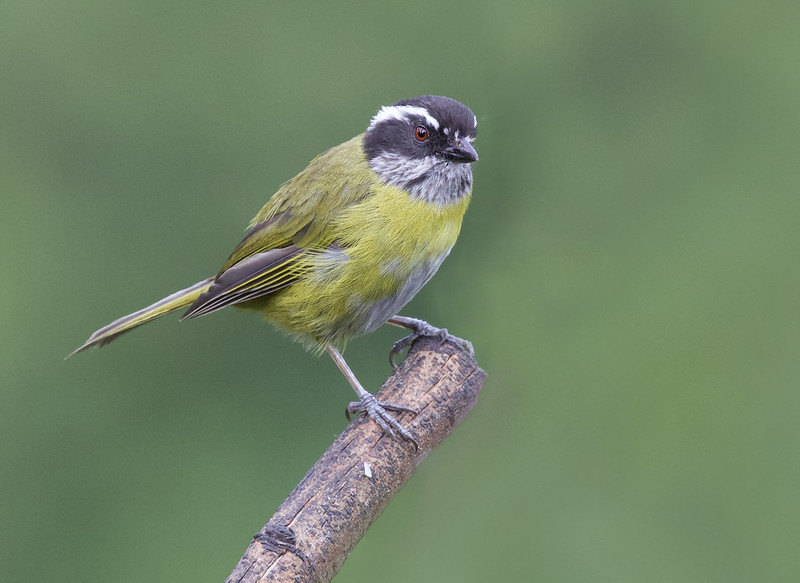Sooty-capped Chlorospingus, Chlorospingus pileatus_199A4609