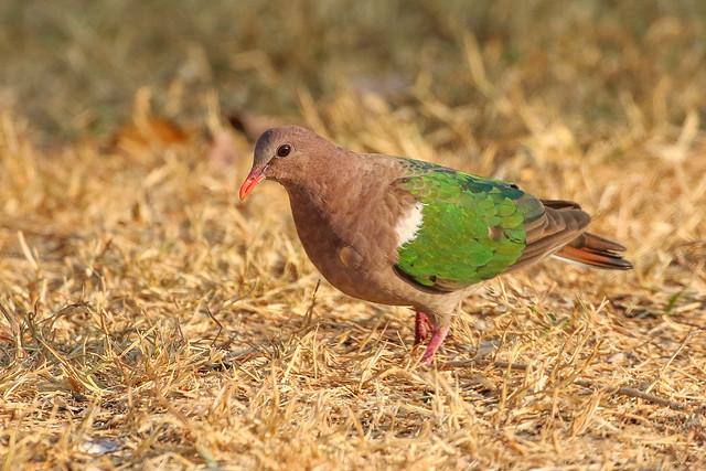 Brown-capped Emerald Dove