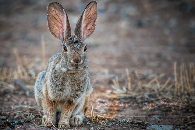 Wild Rabbit 1