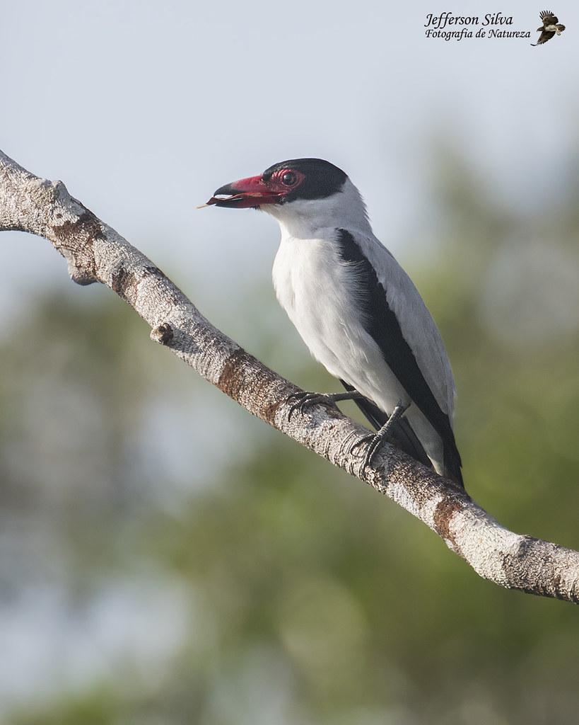 anambé-branco-de-rabo-preto - Black-tailed Tityra / Tityra cayana - Manaus - 28-07-18