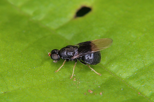 Zwart speldenknopje ♀, 2-3 mm