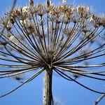 Vertrockneter Blütenstand eines Riesen-Bärenklaus (Heracleum mantegazzianum) im Spätsommer in der Heisinger Ruhraue