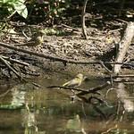 Badende Grünfinken (Chloris chloris) in der Saarn-Mendener Ruhraue
