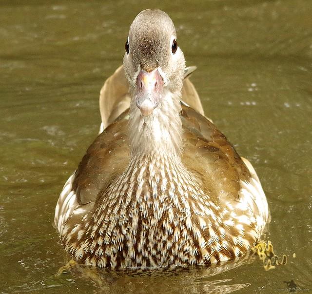 female manderin duck (1)