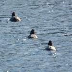 Enten-Flotte auf dem Mündungs-Ölbachteich