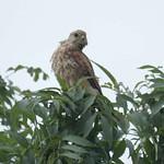 Turmfalke (Falco tinnunculus) in der Rheinaue Walsum