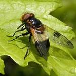 Gemeine Waldschwebfliege (Pellucid Hoverfly, Volucella pellucens)