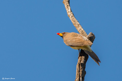 The yellow-billed oxpecker (Buphagus africanus) | by surferjaws