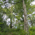 Rot-Buchen (Fagus sylvatica) sind die dominierenden Bäume im Naturschutzgebiet Oefter Tal