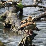 Nilgänse (Alopochen aegyptiacus) in der Heisinger Ruhraue