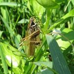 Roesels Beißschrecke (Metrioptera roeseli) in der Heisinger Ruhraue