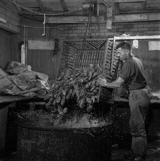 300 pounds (136 kilograms) of lobsters being put into a cooking pot, Prince Edward Island / 136 kg (300 livres) de homard mis en marmite (Île-du-Prince-Édouard)