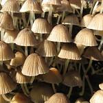 Viersporige Nitrat-Helmlinge (Mycena stipata) auf Totholz in der Heisinger Ruhraue