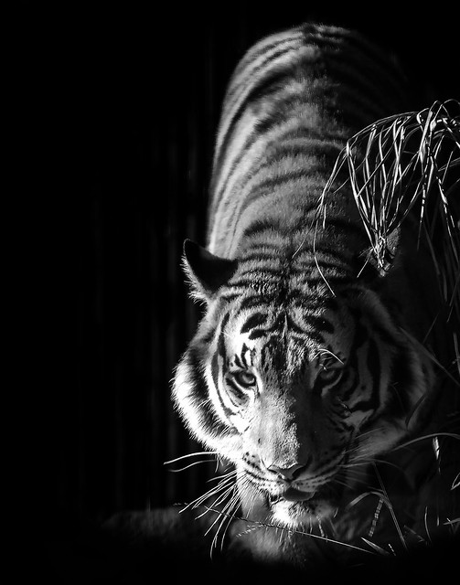 024693763598-102-Stalking Tiger-2-Black and White
