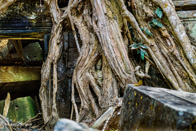 Small Part of an Image of Buddha Is Seen Through Roots Covering Parts of the Ta Prohm Temple, Cambodia-36a