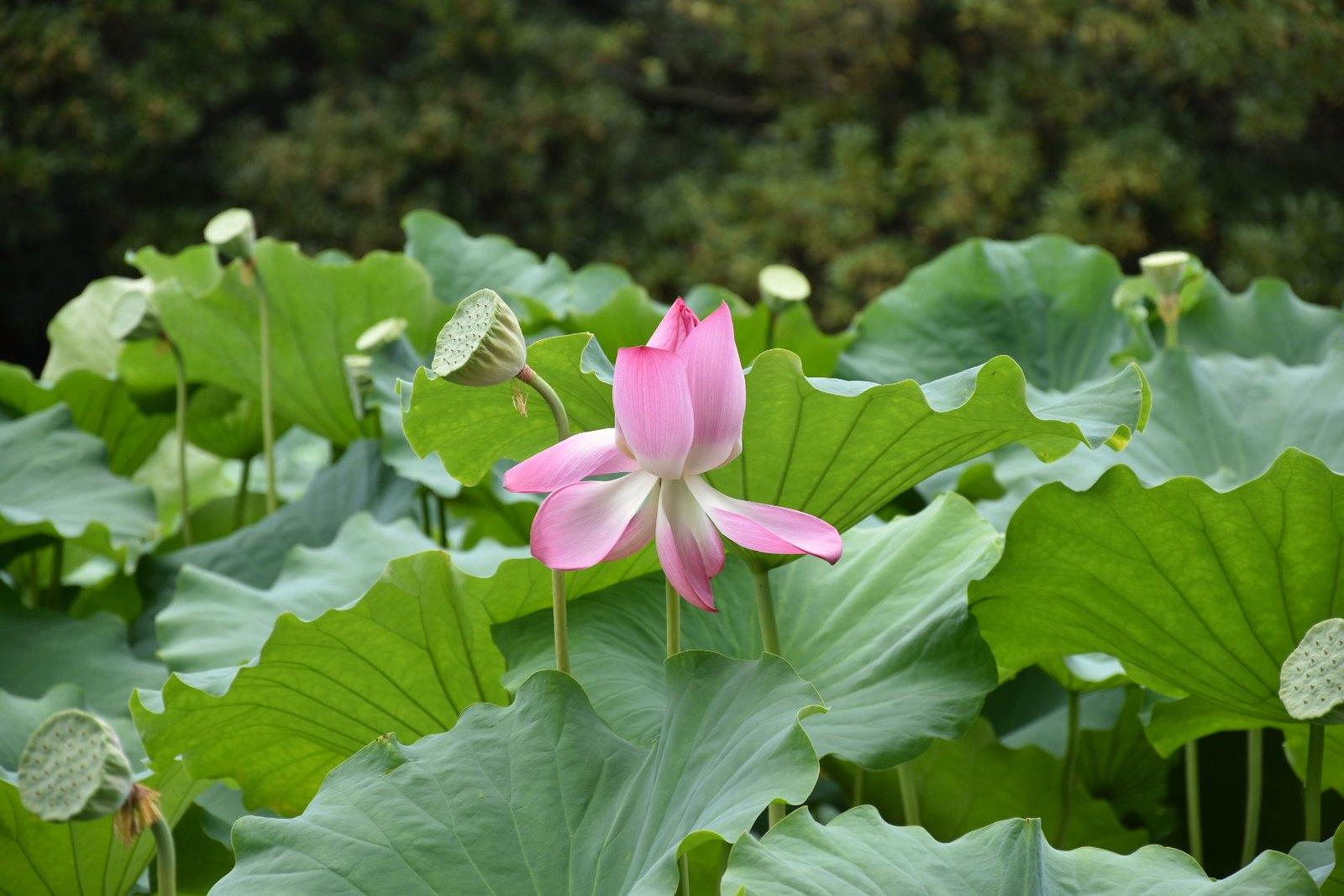 Takamatsu, Ritsurin-kôen - lotus