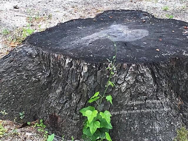 Weathered Tree Stump.