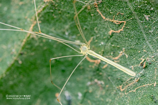 Daddy-long-legs spider (Leptopholcus sp.) - DSC_9322