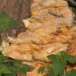 Gemeiner Schwefelporling (Laetiporus sulphureus) in der Saarn-Mendener Ruhraue