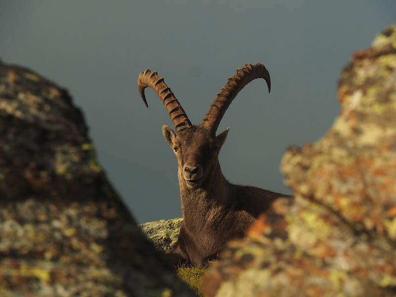 King of the Mountain. Male ibex in Val d'Ayas, Italy