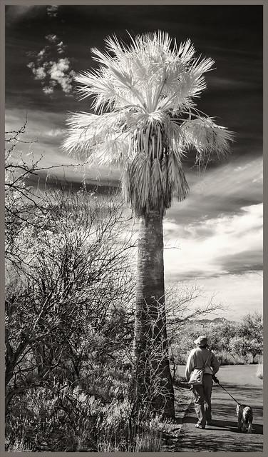 Agua Caliente IR #23 2018; Walking the Dog in the Desert