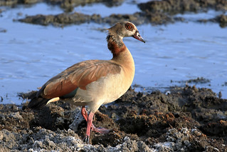 Egyptian goose | by dmmaus