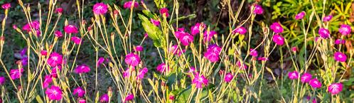 rosecampion silenecoronaria plants sunrise sunshine morning oregon rainieroregon flowers