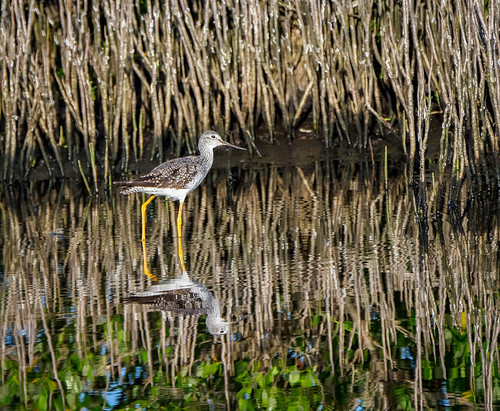 Yellowlegs | by Ed Rosack