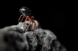 Araeoncus humilis   by macropoulos