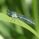 Männliche Blaue Federlibelle (Platycnemis pennipes) in der Heisinger Ruhraue