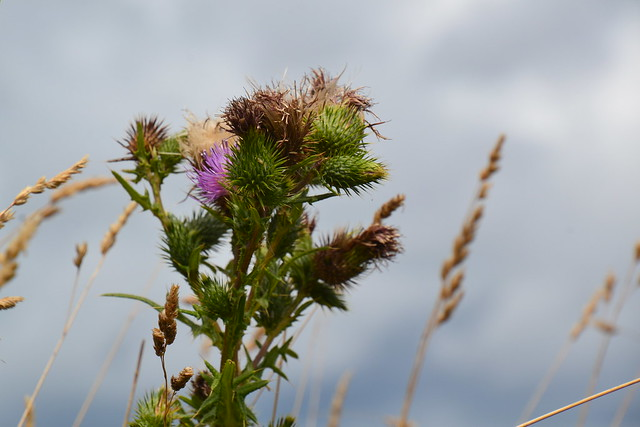 Brittany thistles