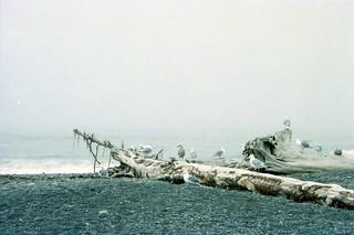 Rialto Beach Sea Gulls