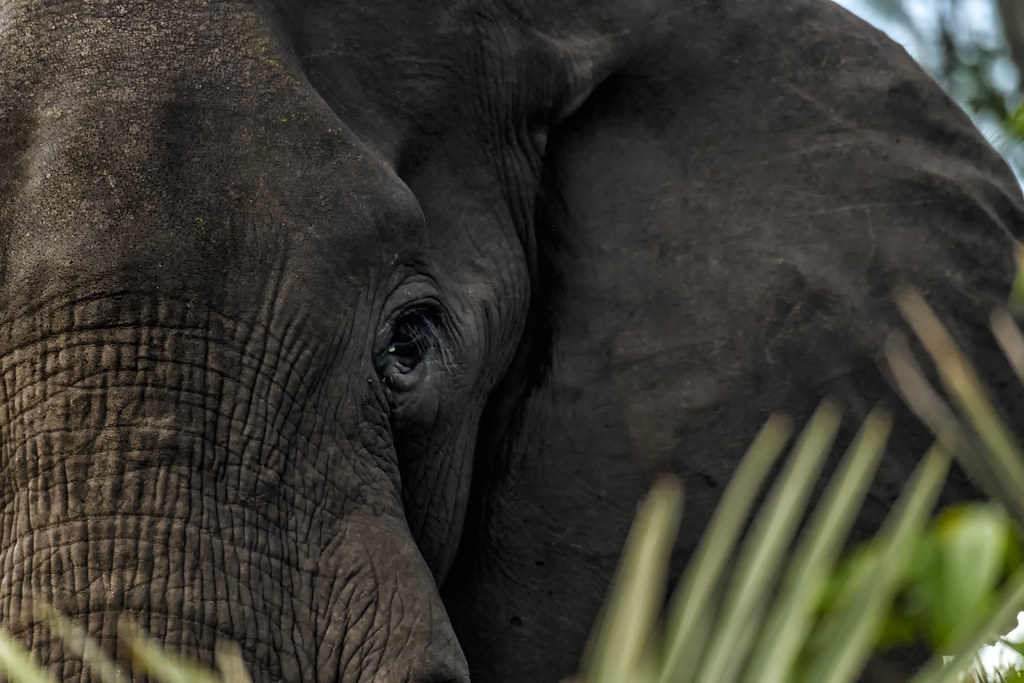 EYE OF THE ELEPHANT: Spiritual Meaning   In celebration of W