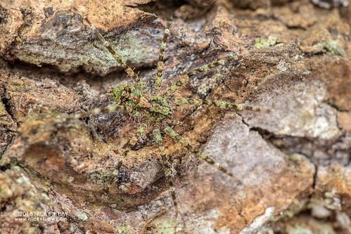 Wandering spider (Viridasiidae) - DSC_8601 | by nickybay