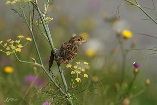 Moineau  domestique | by jjalonso09